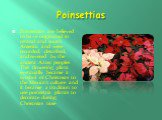 Poinsettias. Poinsettias are believed to have originated in central and south America and were recorded, described, and revered by the ancient Aztec peoples. This flowering plant eventually became a symbol of Christmas to the Mexican culture and it becamea tradition to use poinsettia plants to dec