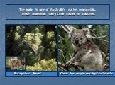 Eucalyptus Forest. The koala is one of Australia's native marsupials. These mammals carry their babies in pouches. Koalas live only in eucalyptus forests