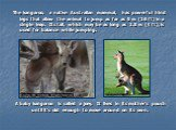 A baby kangaroo is called a joey. It lives in its mother's pouch until it's old enough to move around on its own. The kangaroo, a native Australian mammal, has powerful hind legs that allow the animal to jump as far as 5 m (16 ft) in a single leap. Its tail, which may be as long as 1.5 m (4 ft), is