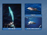 Great White Shark Dolphin Blue Whale