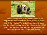 Kodiak Bear (Ursus arctos middendorffi) is the largest terrestrial carnivore. It is a variety of brown bear living Alaska. The kodiak bear draws its name from the island Kodiak, one of the islands of the gulf of Alaska, but one also finds some on the peninsula and the close islands, like Afognak and
