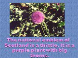 The national emblem of Scotland is a thistle. It is a purple plant with big thorns.