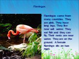 Flamingos. Flamingos come from many countries. They are pink. They have long legs. They live near salt water. They eat fish and they can fly. Their nests are near water. They are on the ground. A female flamingo sits on two eggs.