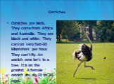 Ostriches. Ostriches are birds. They come from Africa and Australia. They are black and white. They can run very fast-60 kilometers per hour. They can't fly. An ostrich nest isn't in a tree. It is on the ground. A female ostrich sits on 10 to 20 eggs.