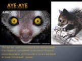 The aye-aye with its strange looks and extremely thin fingers is considered to be one of the most unusual primates in the world. It is rare and listed as a near-threatened species.