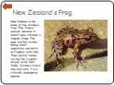 New Zealand's Frog. New Zealand is the home of the Archey's frog. This frog is unusual, because it doesn't pass through a tadpole stage. The eggs are laid on land among moist vegetation and hatch as froglets with tails. Their dutiful father carries the froglets around on his back. Sadly, Archey's fr